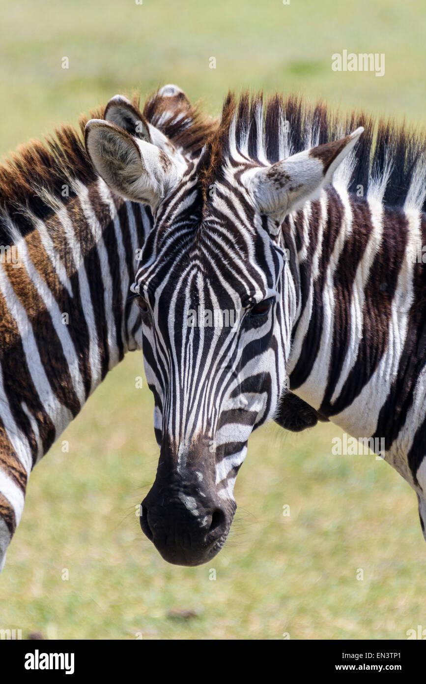 Zebra Equus quagga retrato en el Área de Conservación de Ngorongoro, Tanzania, África. Imagen De Stock