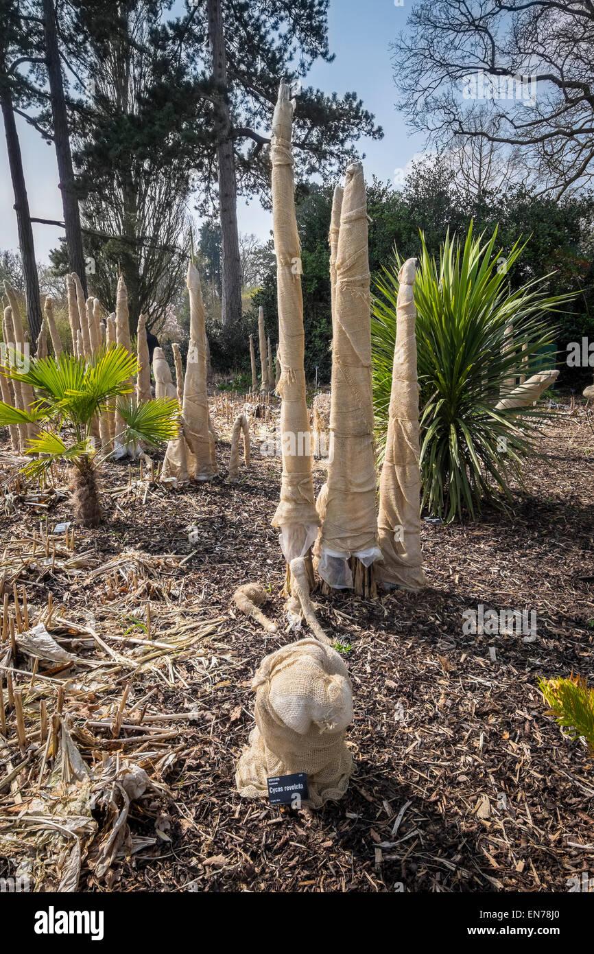 Plantas tiernas envueltas en arpillera y paja para protección contra heladas de invierno en RHS Wisley Imagen De Stock