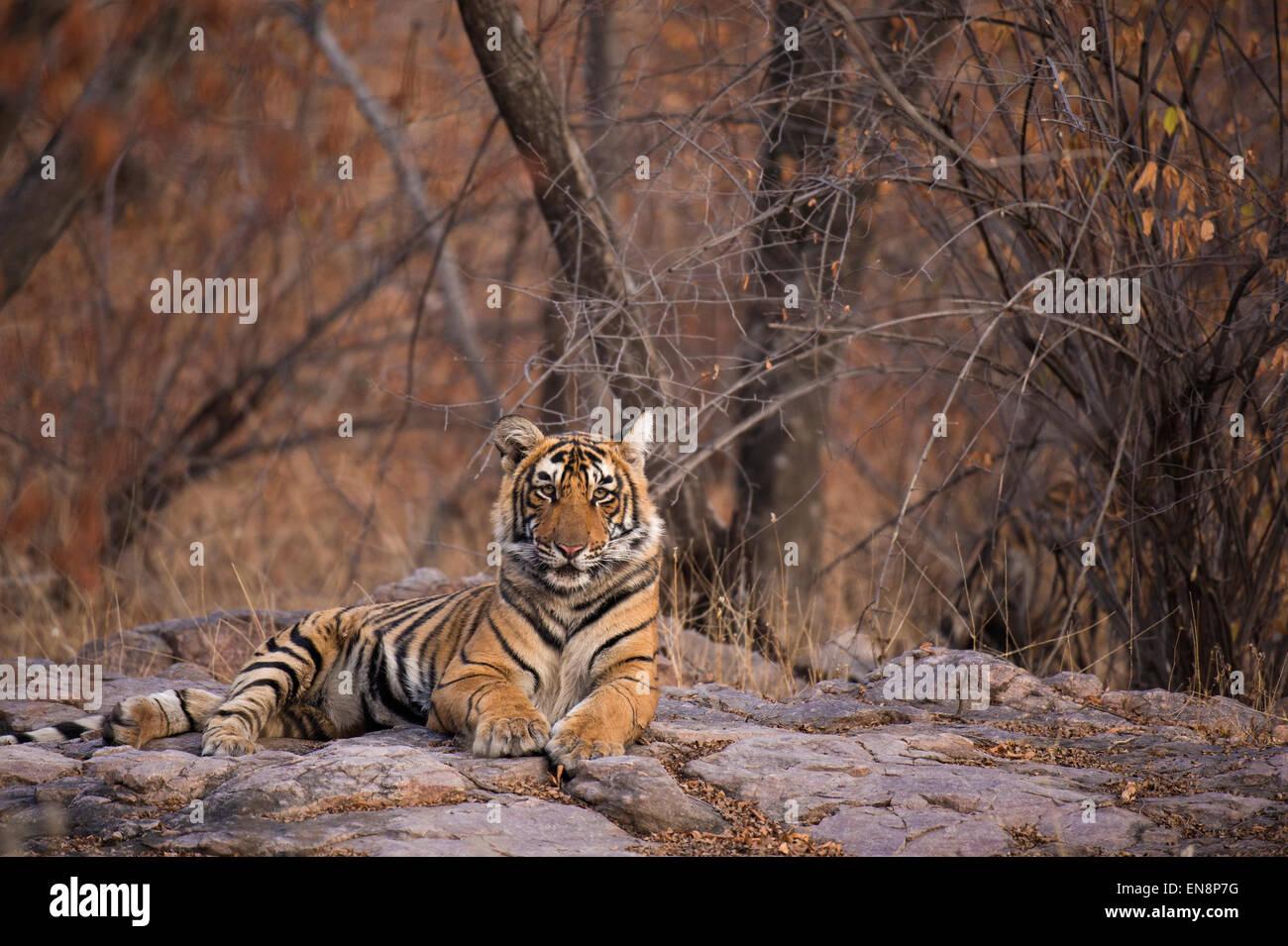 Sub tigre adulto sentado en la tierra rocosa en el parque nacional de Ranthambhore en India Imagen De Stock