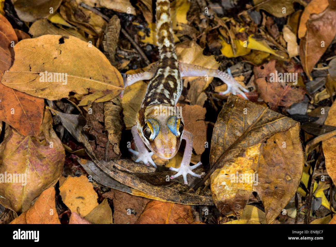 Grandes encabezados gecko, kirindy, Madagascar Imagen De Stock