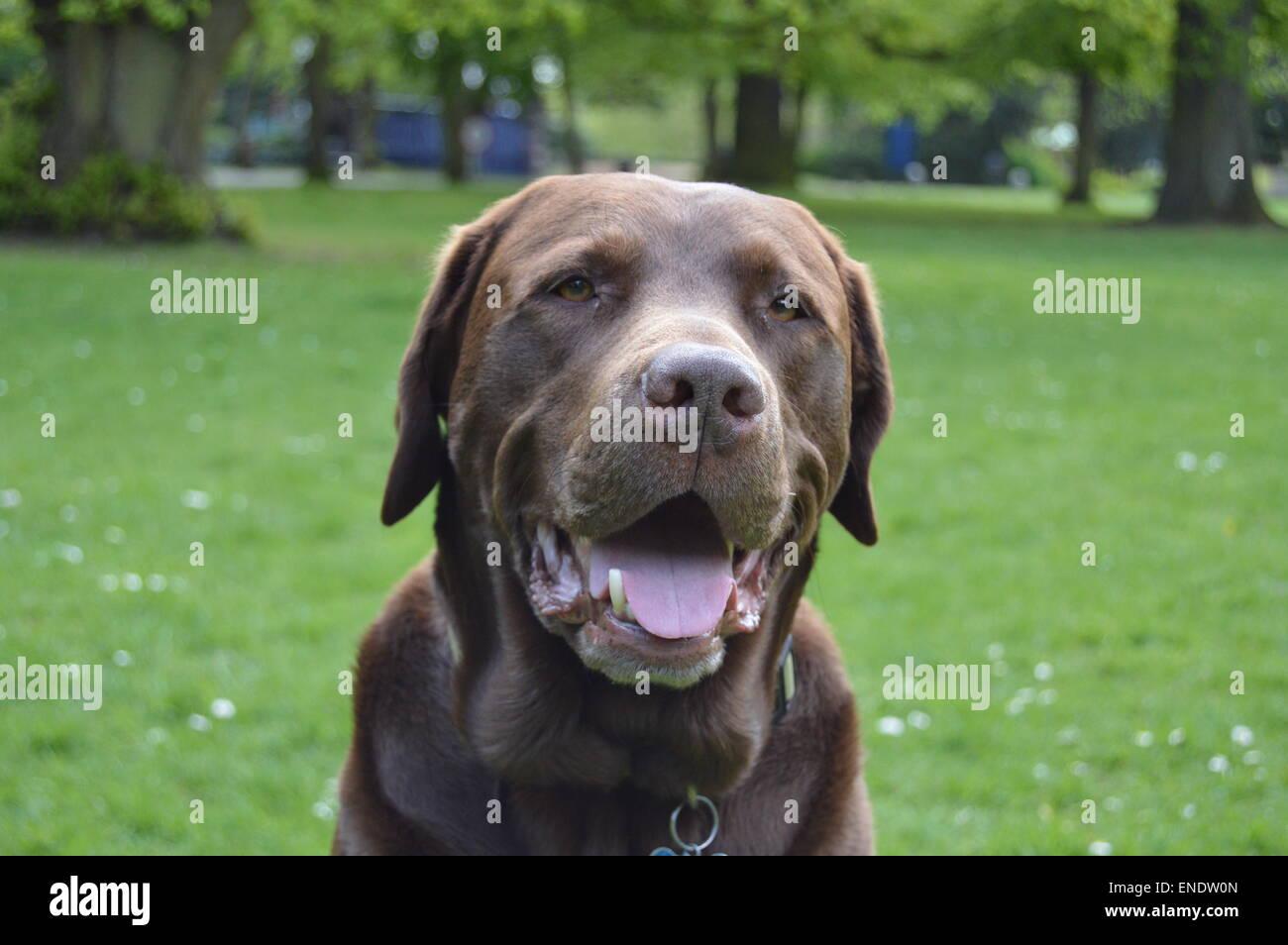 Aquí está una foto de un Labrador Chocolate de 6 años mirando muy feliz y contento Foto de stock