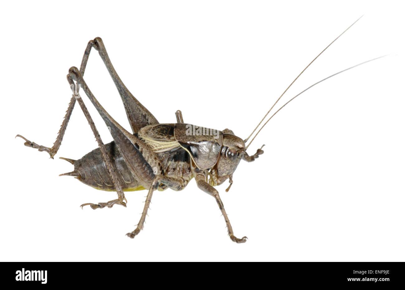 Bush oscuro-cricket macho - Pholidoptera griseoaptera Imagen De Stock