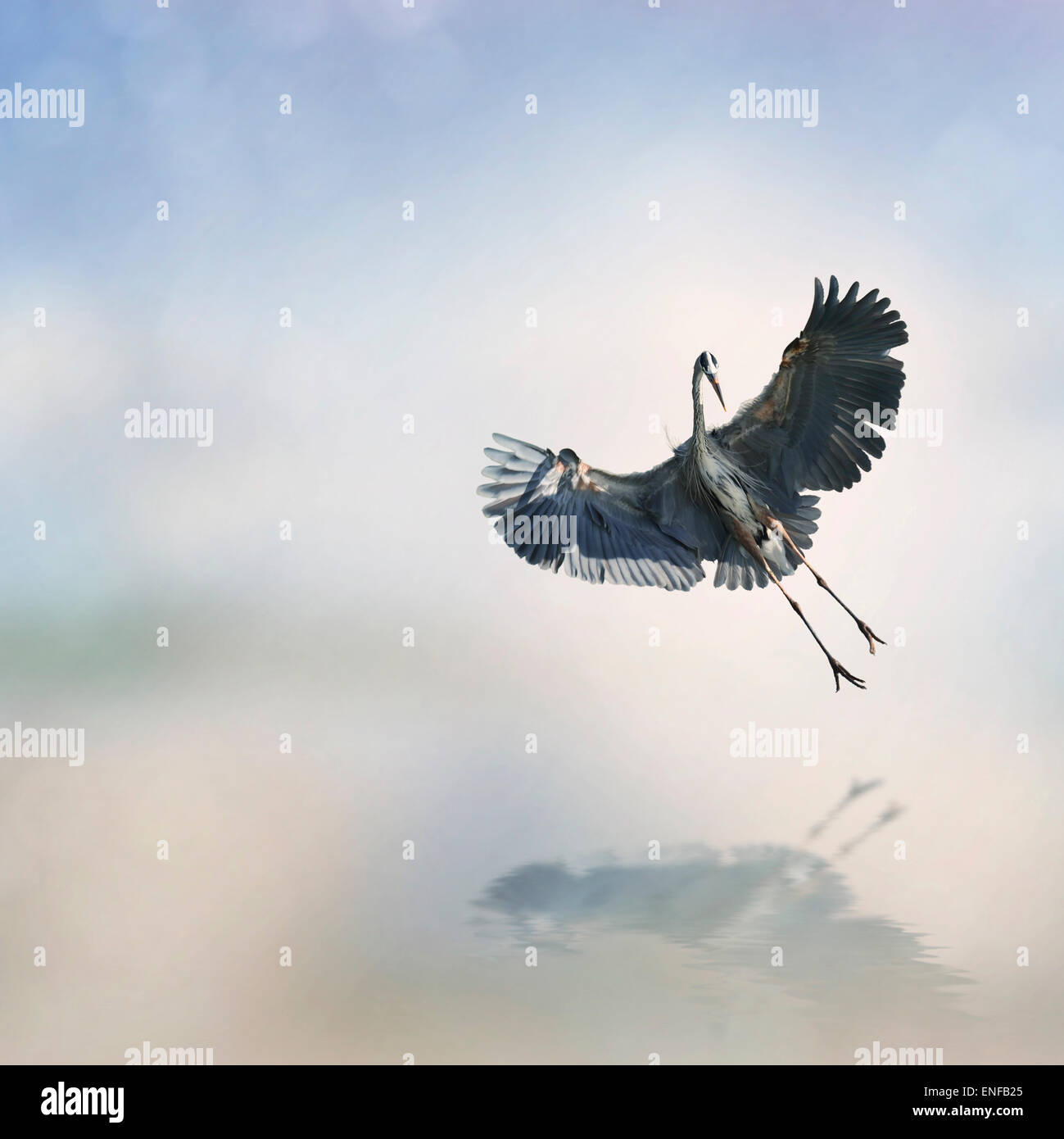 Great Blue Heron en vuelo Foto de stock