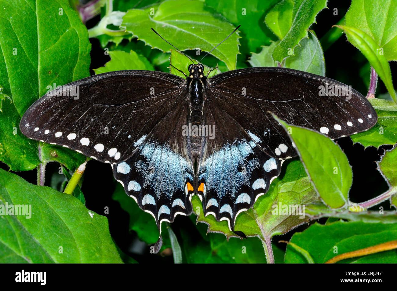 Papilio Troilo, especie spicebush Foto de stock