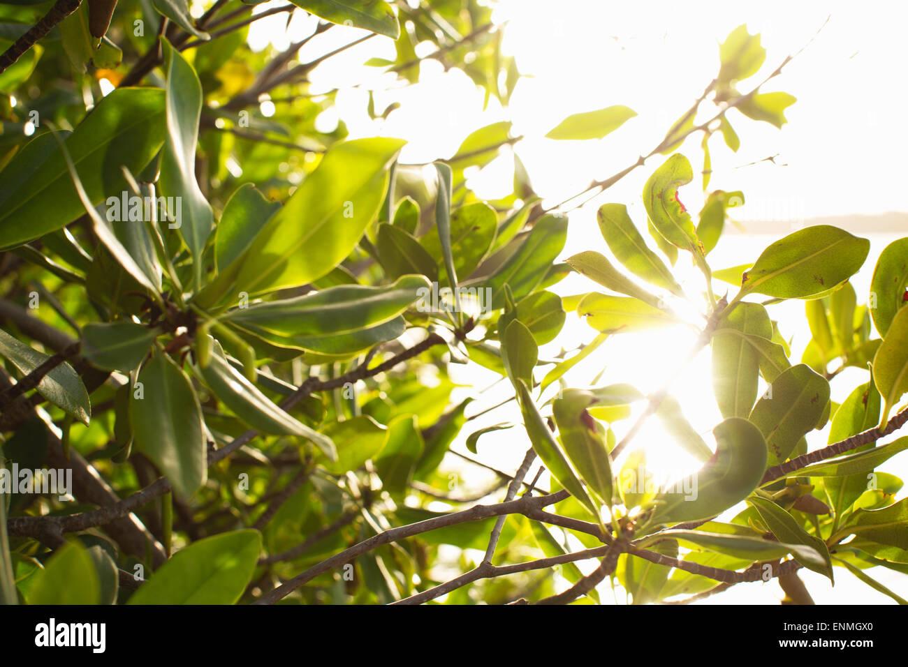 Cerca de follaje con la luz del sol brilla a través de. Foto de stock