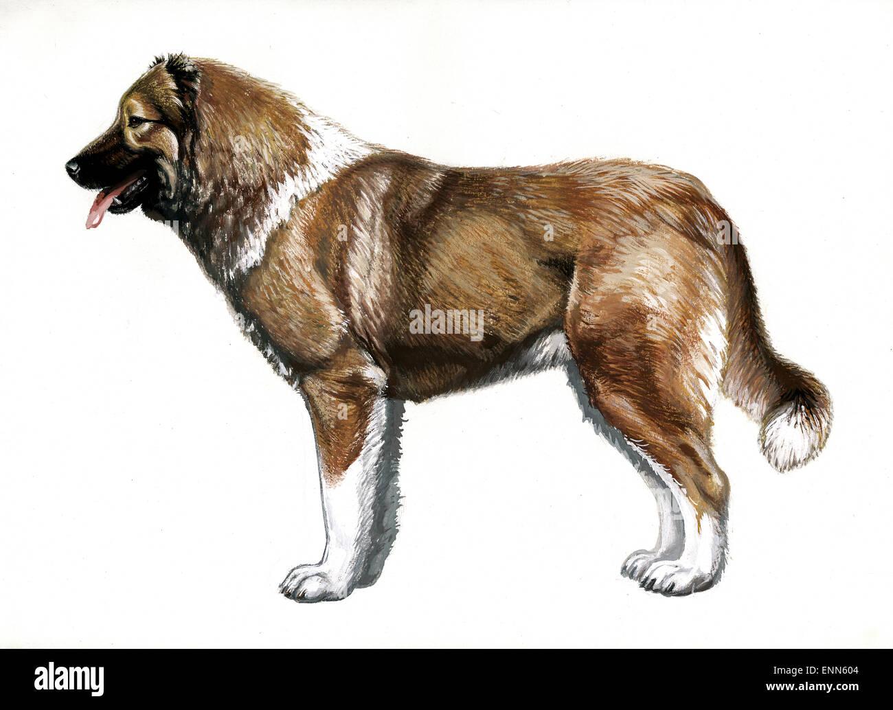 Perro Ovejero caucásicas.guardian.Los Perros Pastores.(Perro con pelo corto.generalizada en las zonas bajas de las montañas del Cáucaso). Foto de stock