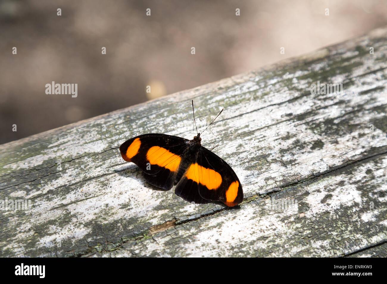 Sabrina Catonephele Butterfly. Uppersides de las alas es de color marrón oscuro, grandes bandas de color naranja Foto de stock