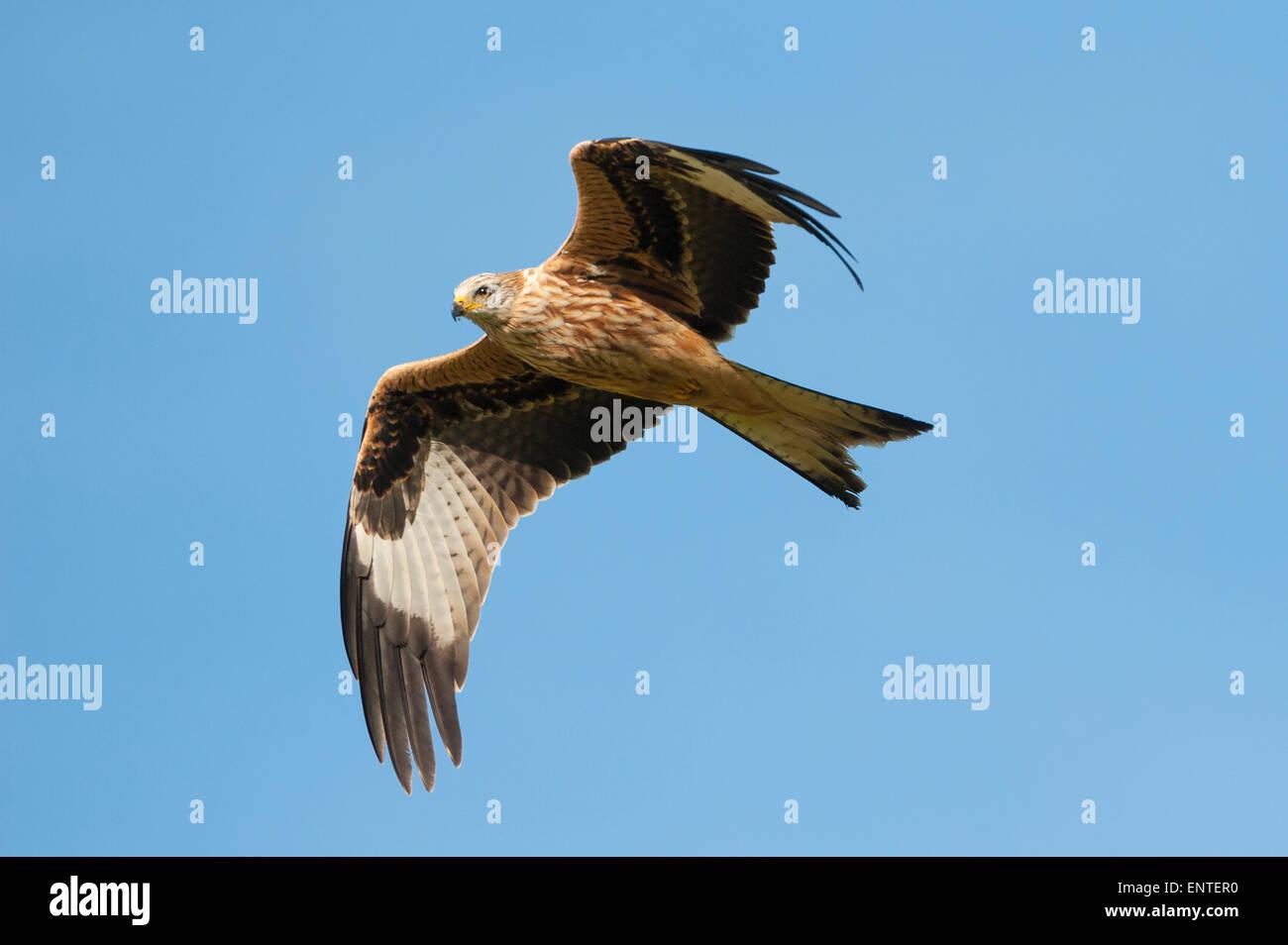 Milano real (Milvus milvus) volando en Dumfries y Galloway, Escocia, Reino Unido Foto de stock