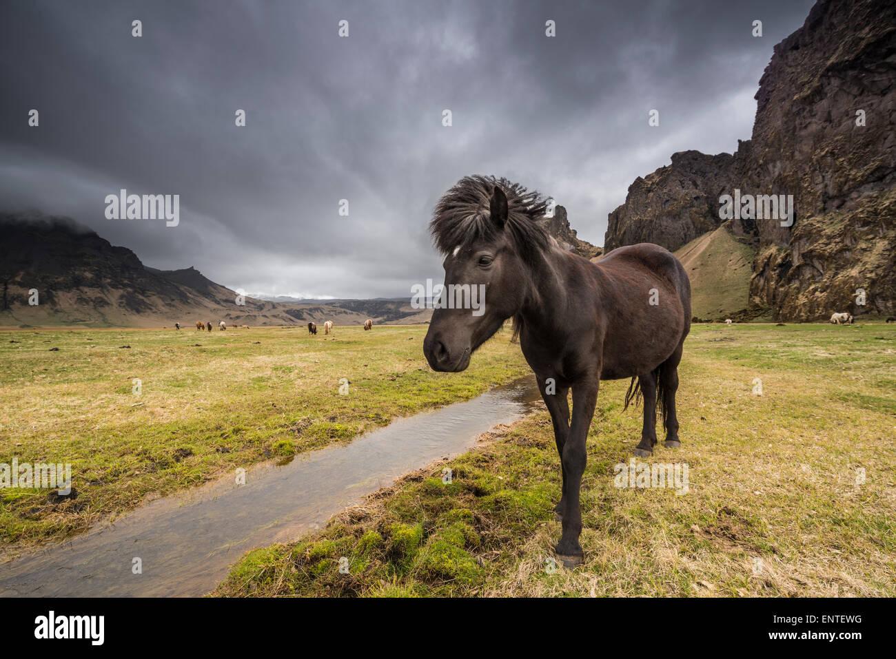 Islandia - caballo caballo islandés en el paisaje de Islandia Imagen De Stock