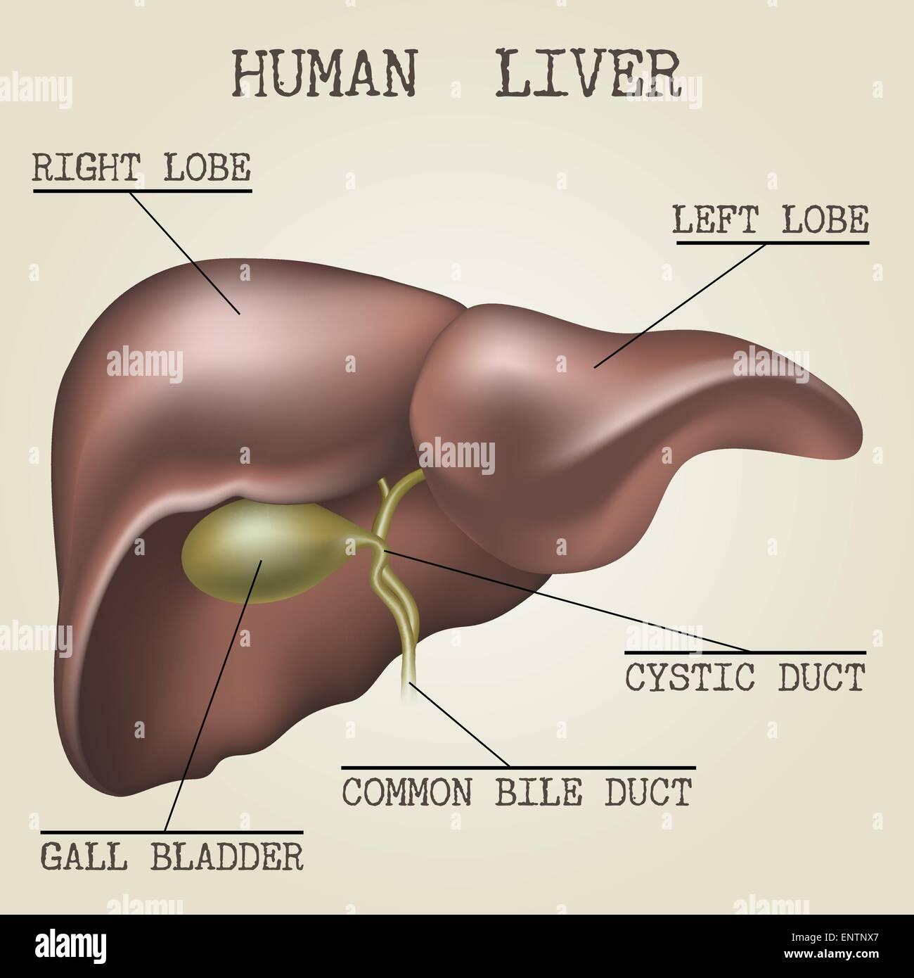 Anatomía del hígado humano ilustración dibujado en estilo vintage ...