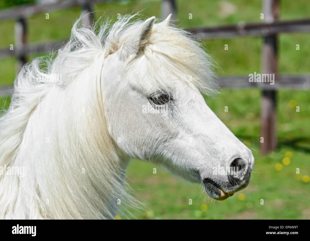 Cabeza de caballo blanco interno en un campo. Imagen De Stock