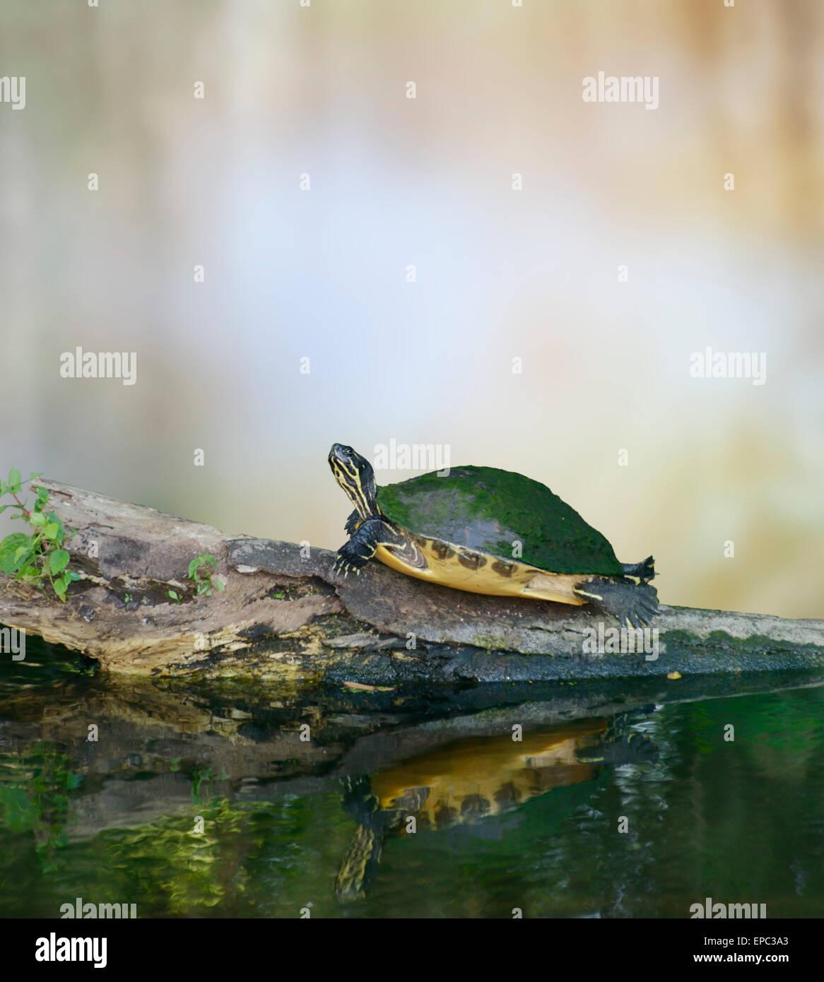Florida Cooter tortuga en un registro Imagen De Stock
