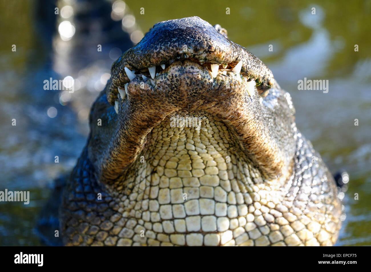 Alligator mississippiensis, cocodrilo americano Imagen De Stock