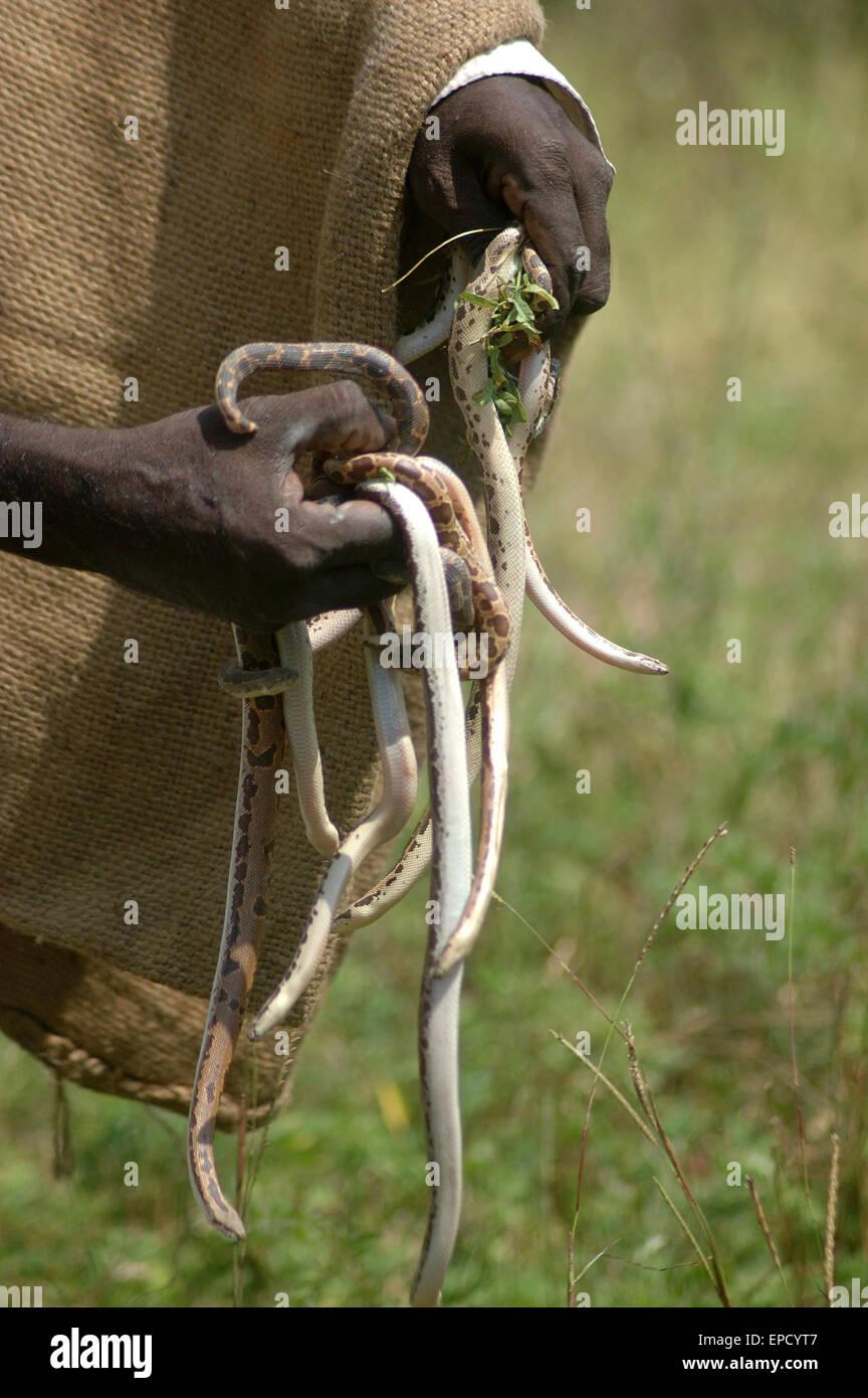 Snake catcher con un puñado de jóvenes víboras, Tamil Nadu, en el sur de la India Foto de stock
