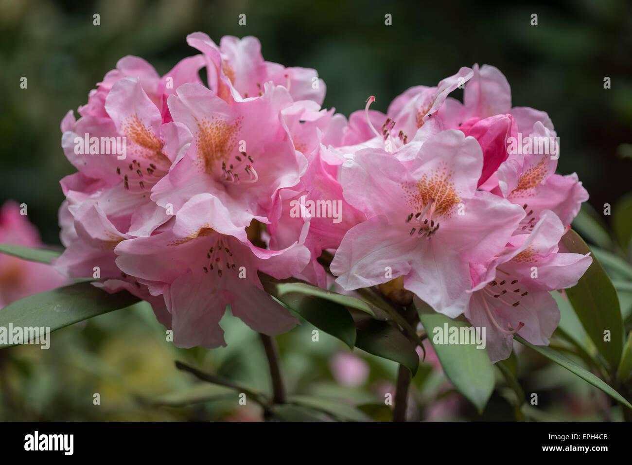 Rhododendron reacio rosa flores rico Imagen De Stock