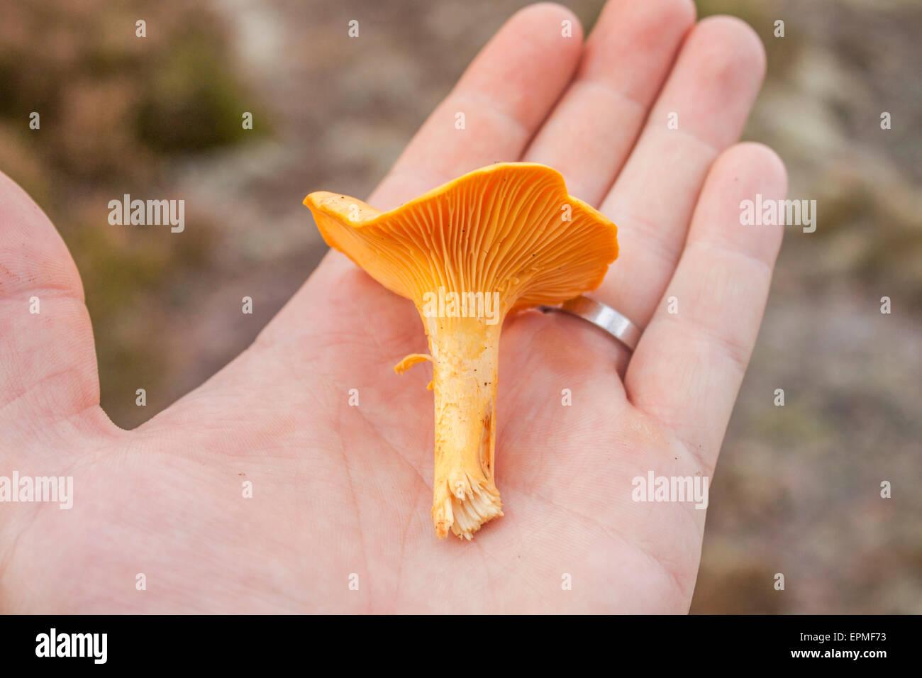 Chantarelle mano en los seres humanos, en el forrest Imagen De Stock