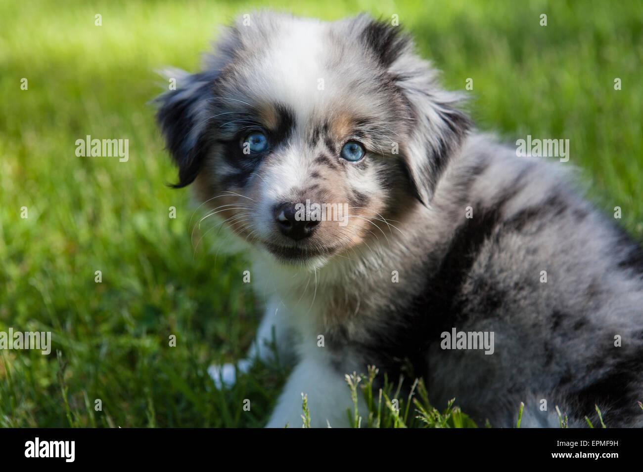 Cachorros Pastor Australiano son ágiles, enérgico y maduran en valorados los perros pastores y leales compañeros que quieren agradar. Foto de stock
