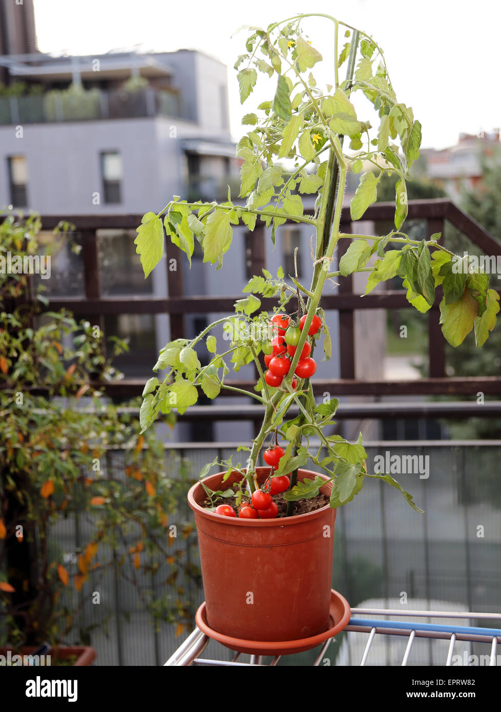 Las Plantas De Tomate Rojo En La Terraza De Una Casa De La