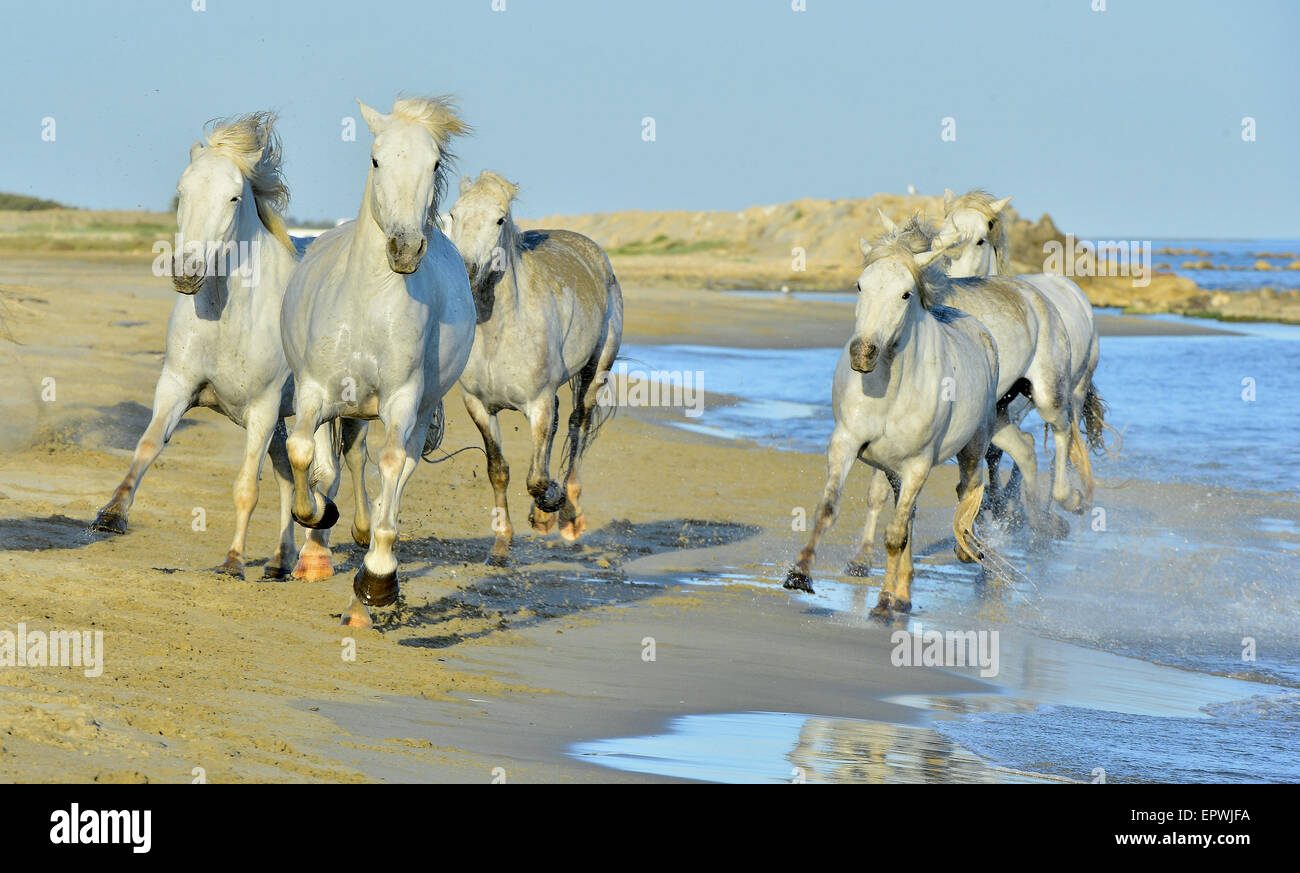 Caballos blancos de la camarga ejecutando a través del agua. Francia Imagen De Stock