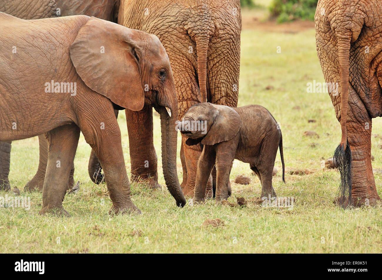 Bebé elefante, busca un compañero de juegos Foto de stock