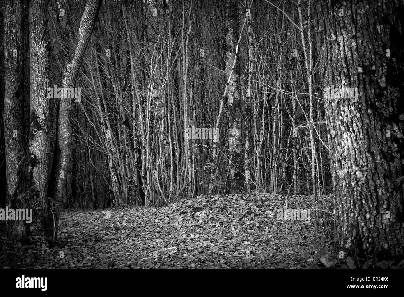 La madera del árbol del bosque bosque de árboles en blanco y negro Imagen De Stock