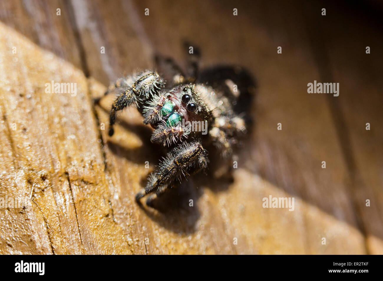 'Negrita' Puente saltando (araña Phidippus audax) - Virginia EE.UU. Imagen De Stock