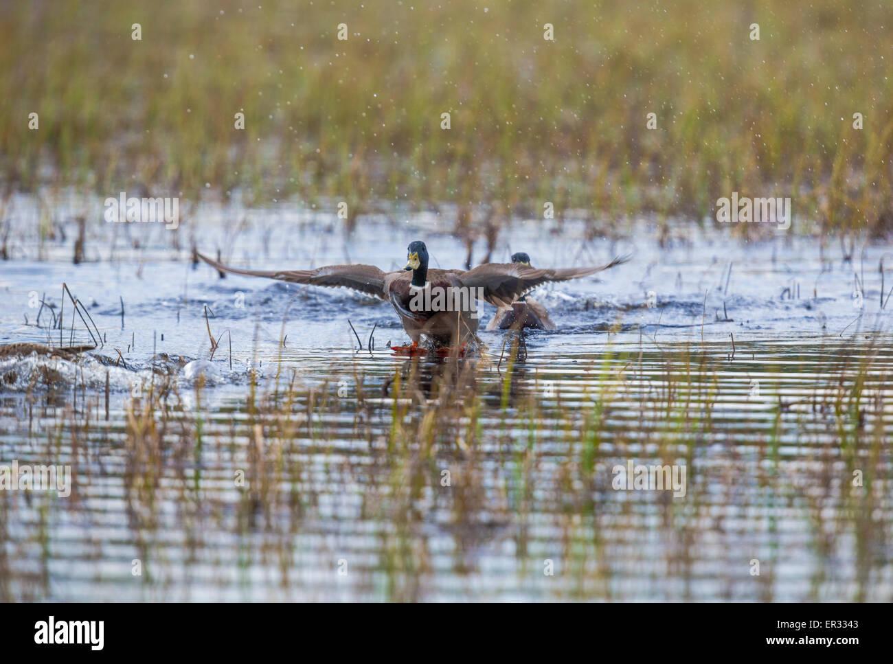 Macho de ánade real, Anas platyrhynchos, extendiendo su ala y aterrizar en el agua Imagen De Stock