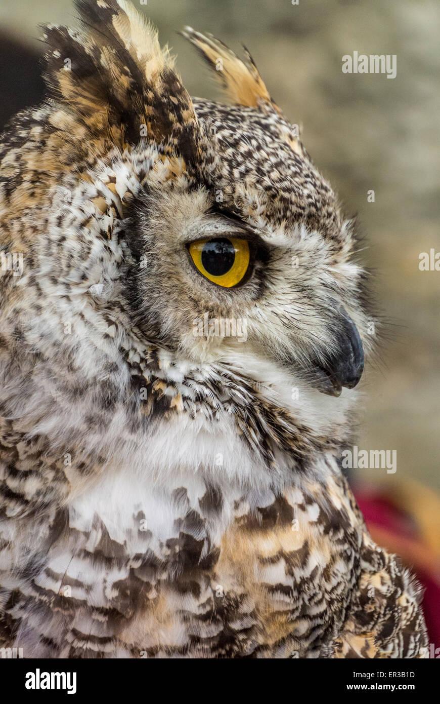 Owl tucuquere canadiense Imagen De Stock
