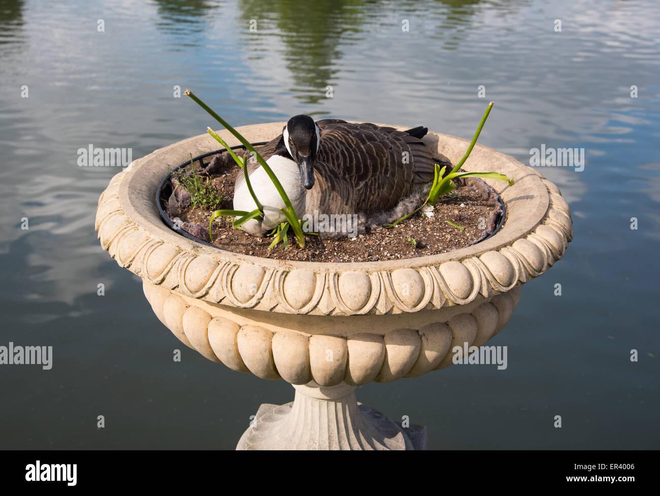 Londres, Reino Unido. El 26 de mayo de 2015. Los gansos de Canadá que habitualmente anidan en el suelo cerca del agua. Éste, sin embargo, ha optado por una posición más elevada en una sembradora, cerca de la puerta de Victoria en Kew. Crédito: Paul Martin/Alamy Live News Foto de stock