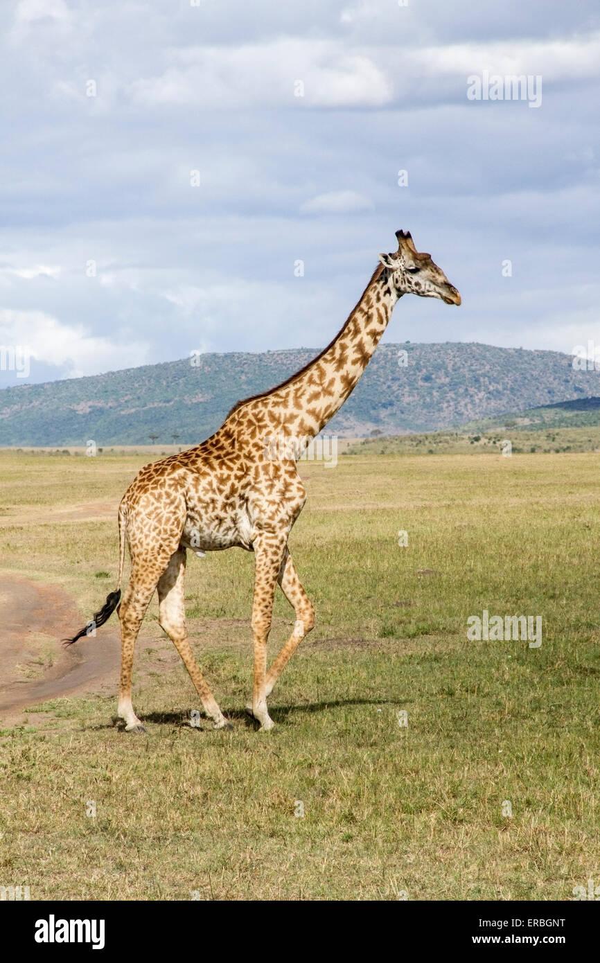 Jirafa (Giraffa camelopardalis) adulto caminando en el monte, en país desértico, Kenya, Africa. Foto de stock