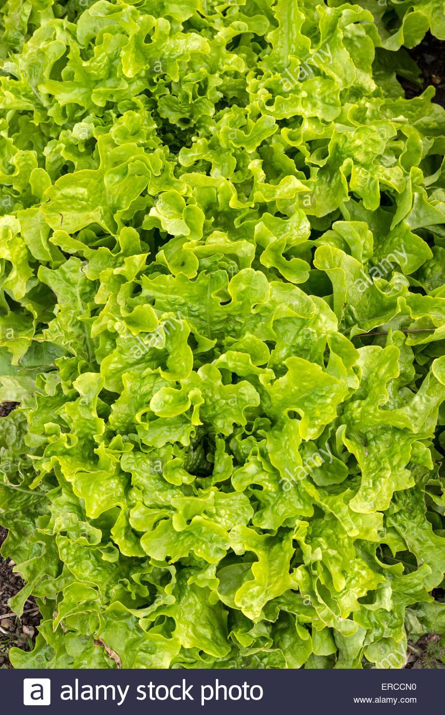 - Variedad de lechuga es 'Verde Ensaladera' Foto de stock