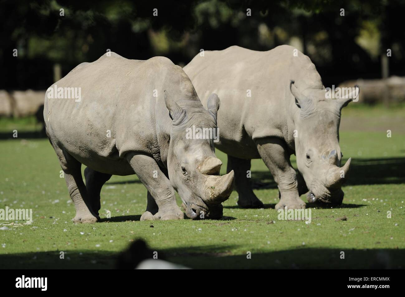 Rinocerontes labios cuadrados Foto de stock