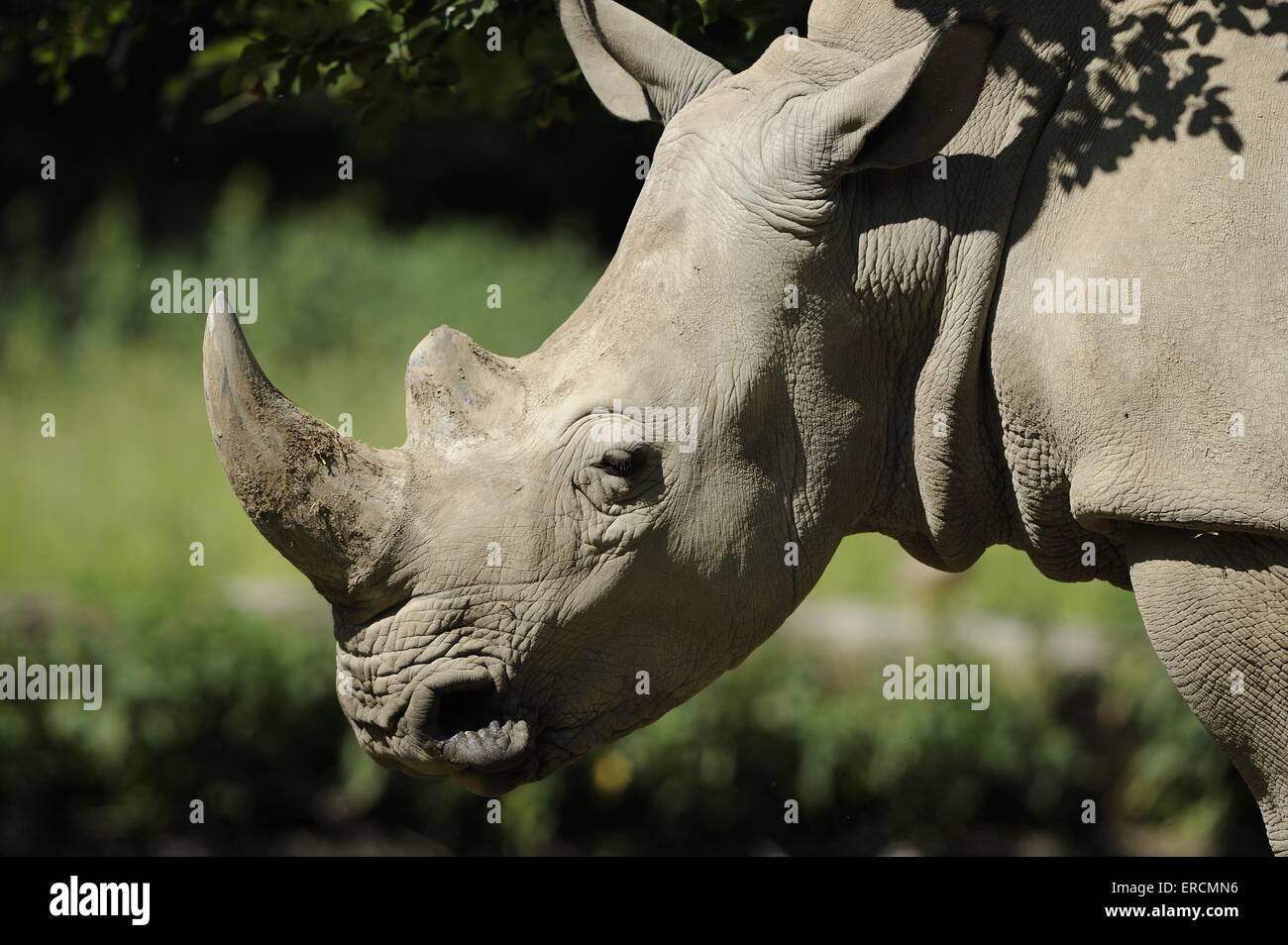 Alabiada cuadrados rhino Foto de stock