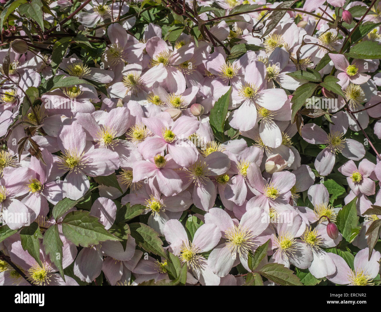 Clematis montana var rubens 'Perfección' rosa Imagen De Stock
