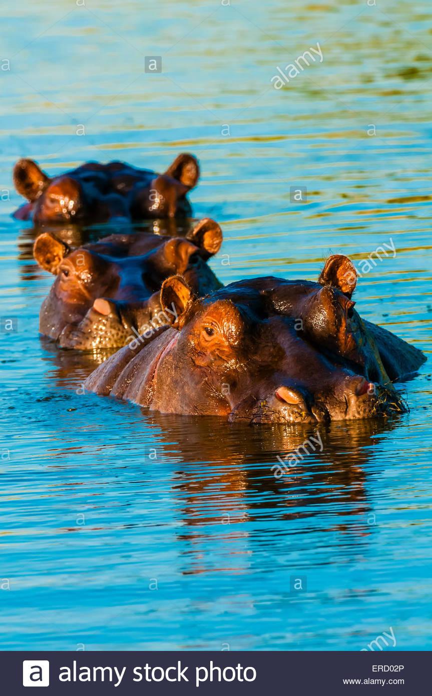 Tres hipopótamos en una fila, cerca del campamento de Kwara, Delta del Okavango, Botswana. Imagen De Stock