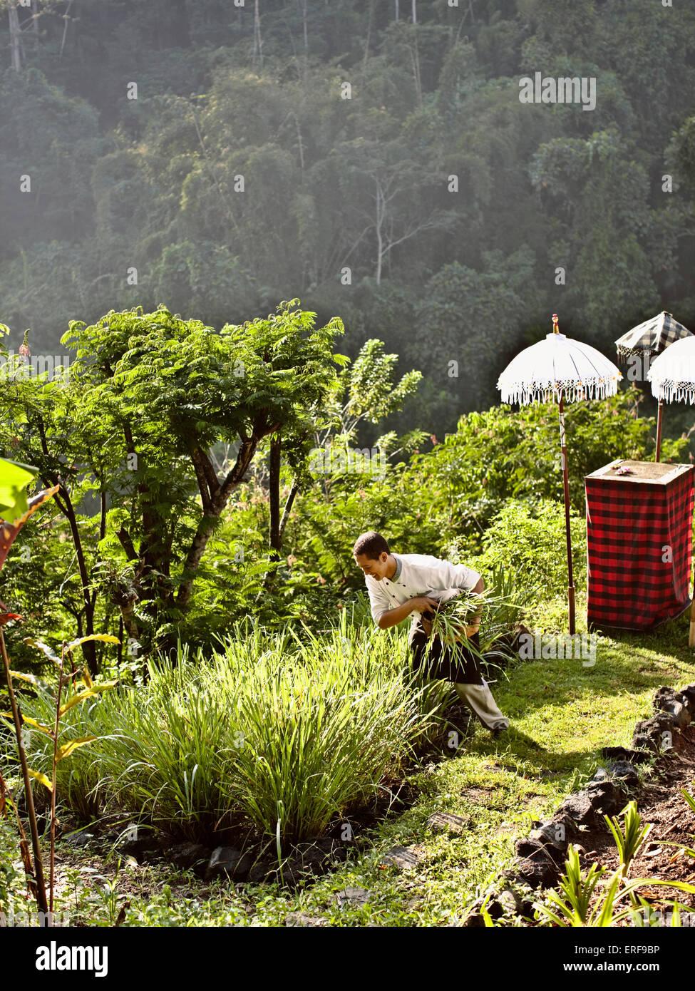 Chef recoge verduras de la huerta orgánica del resort en Ubud Hanging Gardens, Bali, Indonesia. Imagen De Stock