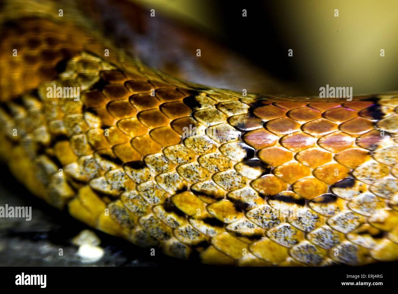 serpiente de maíz Imagen De Stock