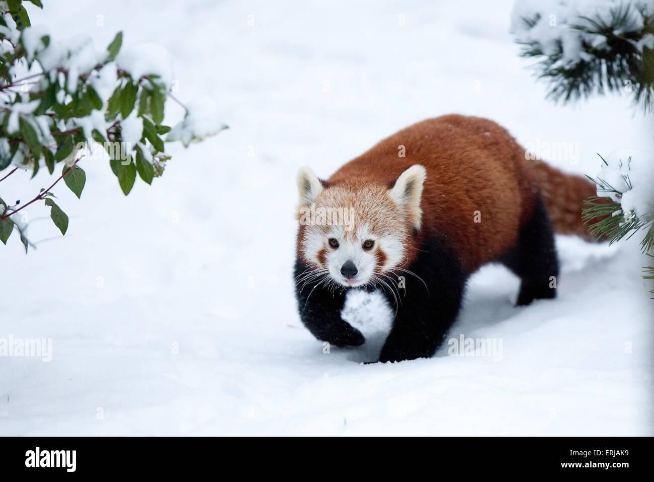 oso panda menor Imagen De Stock