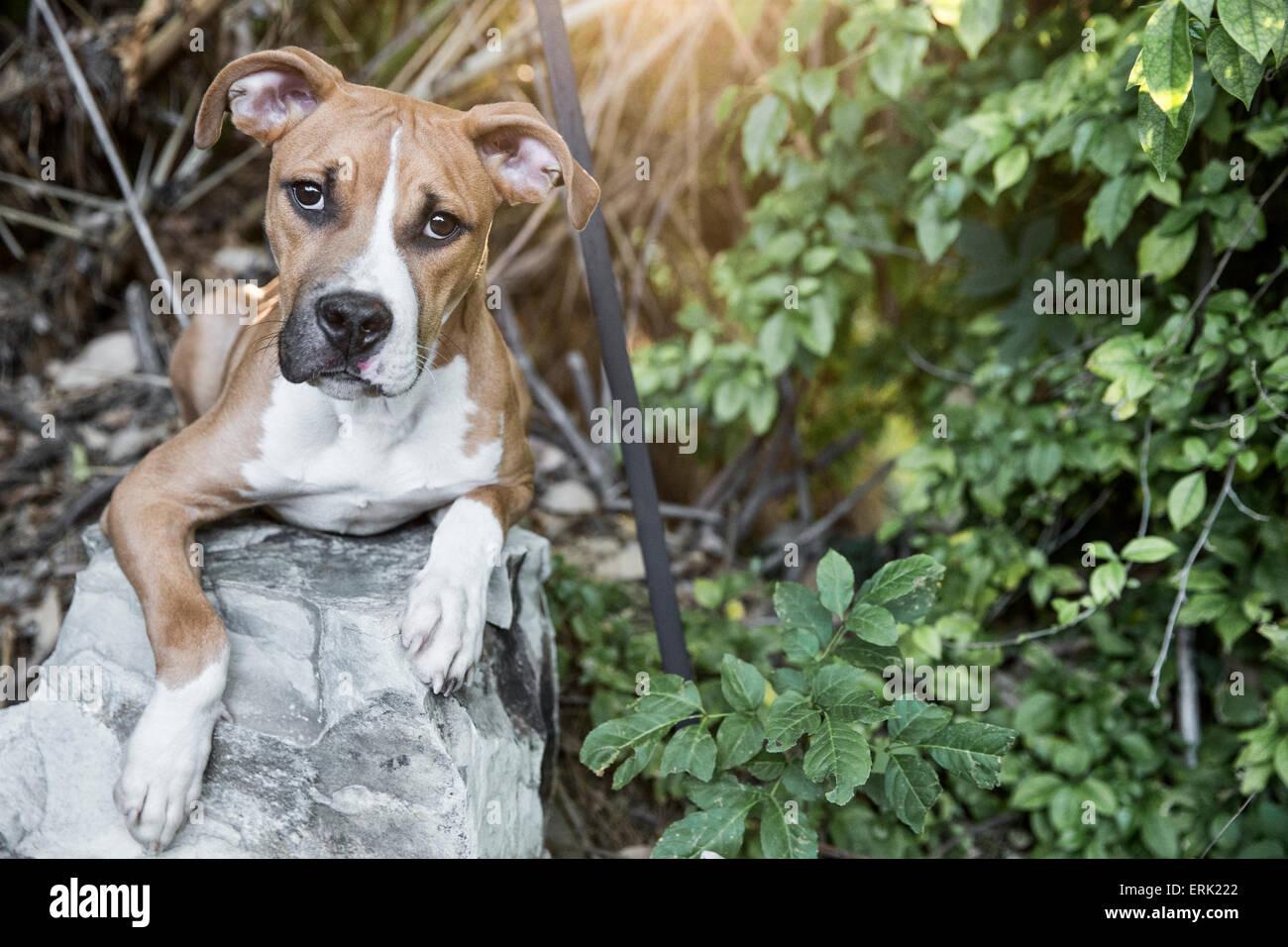 Retrato de luz blanca marrón cachorro sentar sobre una roca en la rica escena de plantas verdes y follaje en el jardín con el calor del sol flare Foto de stock
