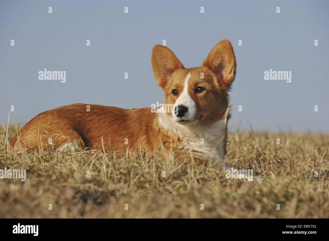 Welsh Corgi Cardigan Puppy Foto de stock