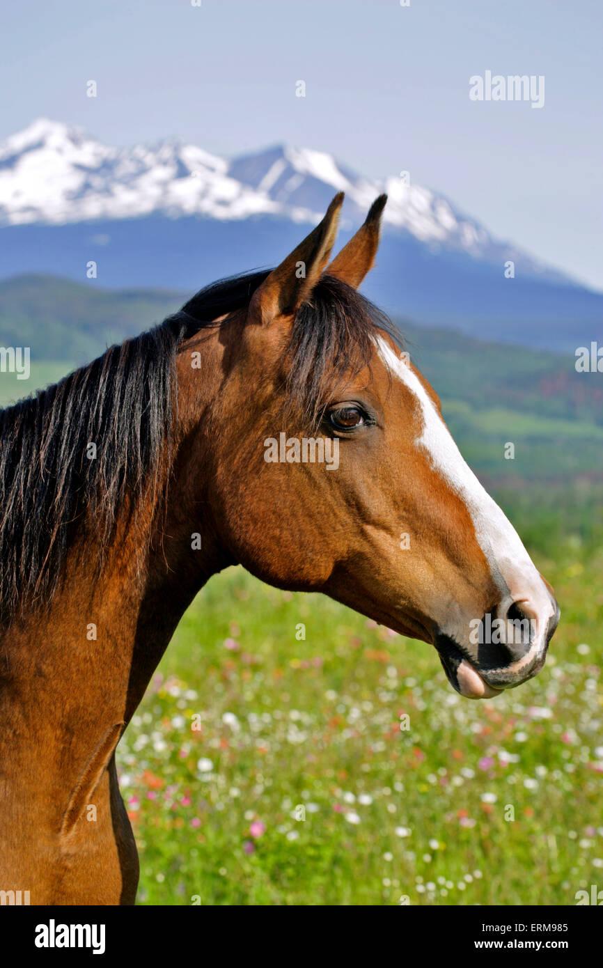 Bay Arabian castrado, de pie en el verano de pradera, Retrato Imagen De Stock