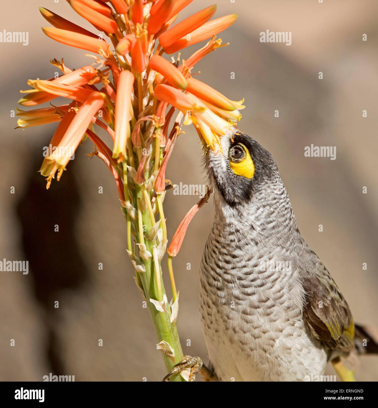 La minera ruidoso bird, Manorina melanocephala, alimentándose de flores de naranja de aloe, tolerantes a la sequía, plantas suculentas en Australian Urban Garden Foto de stock