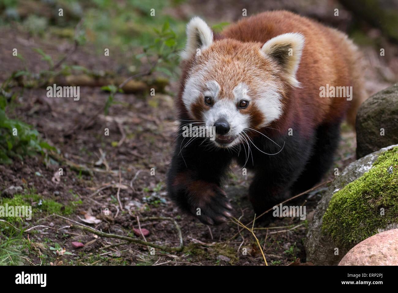 Panda rojo Imagen De Stock