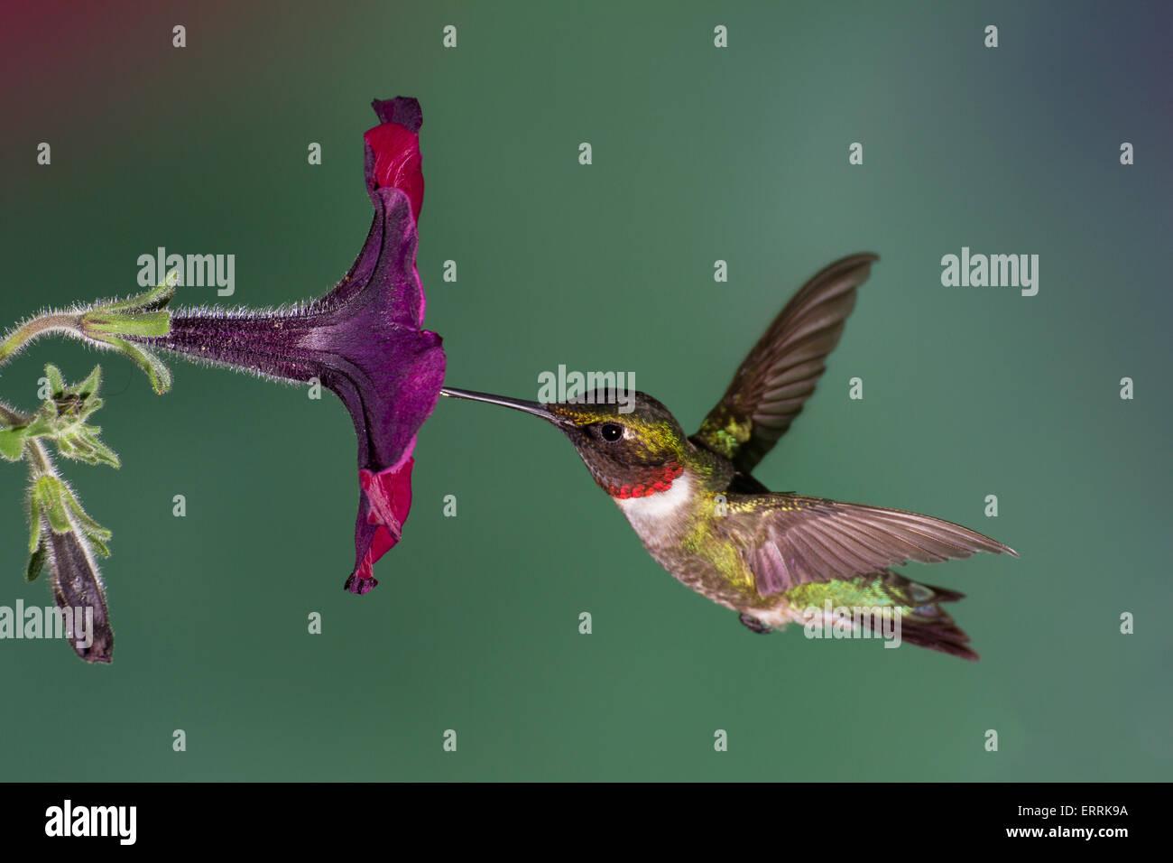 Rubí-throated hummingbird volando en una petunia flor. Imagen De Stock