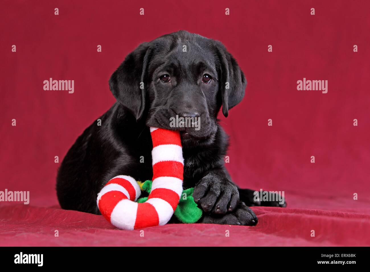 Black Labrador Puppy Christmas Fotos E Imagenes De Stock Alamy