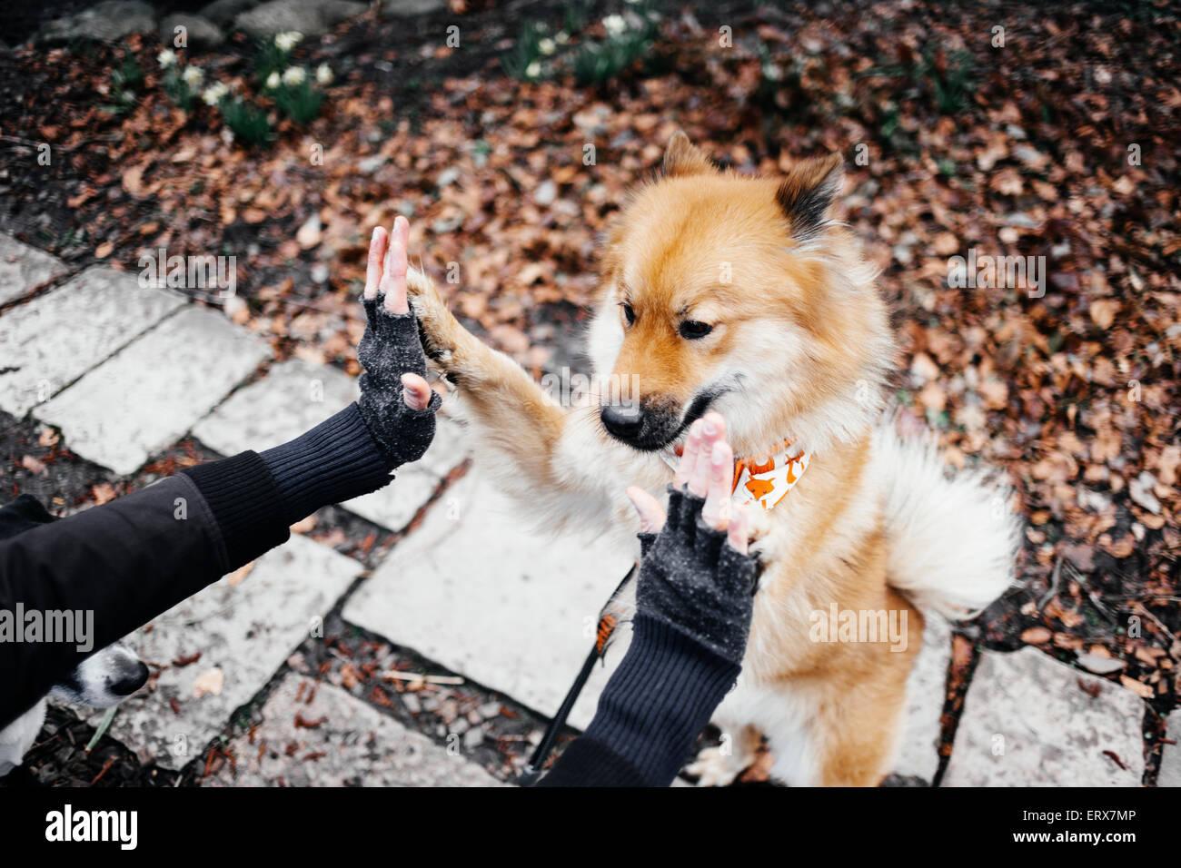 Imagen recortada de manos tocan Eurasier levantándose en park Imagen De Stock