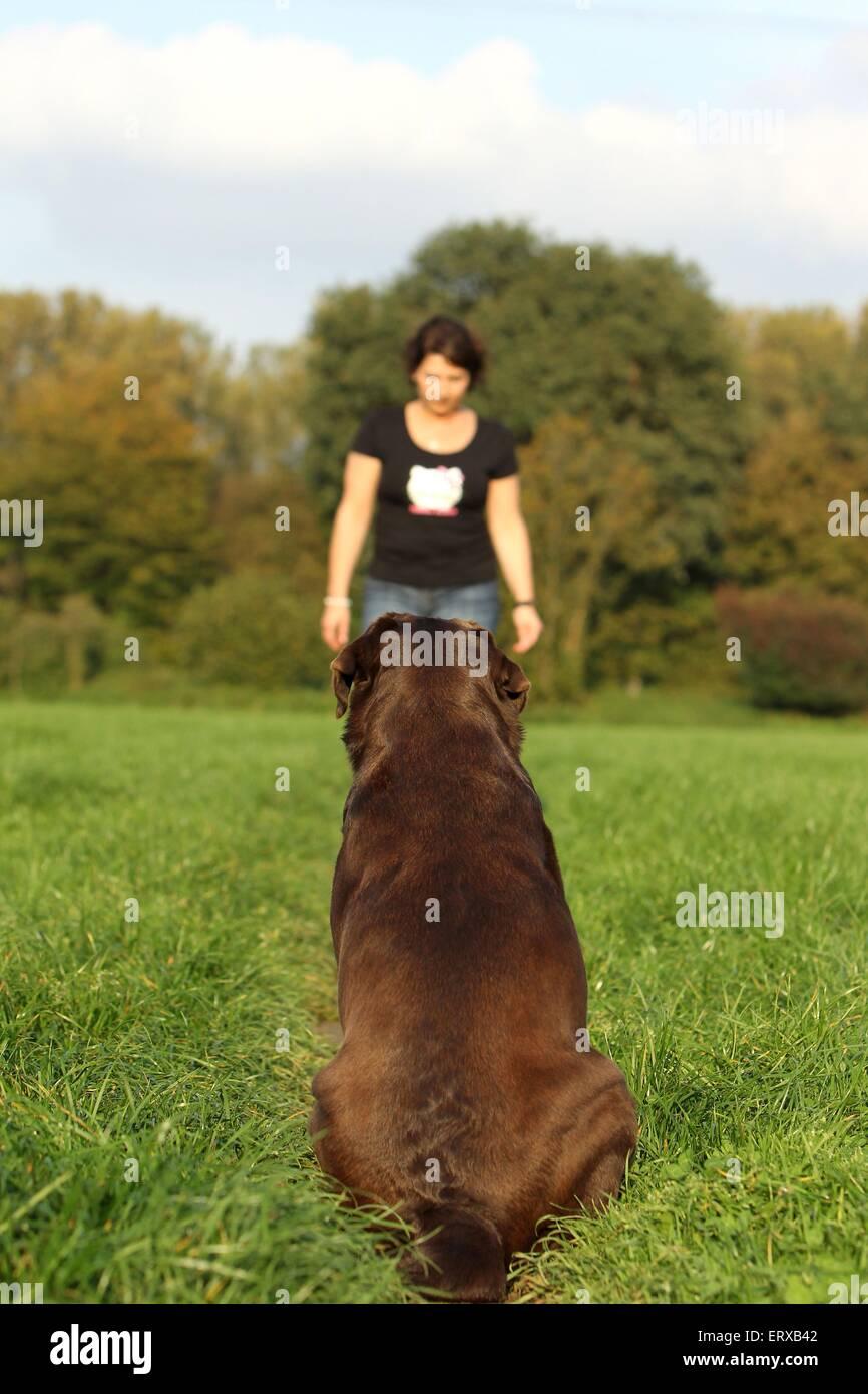 Labrador Retriever sentado Foto de stock