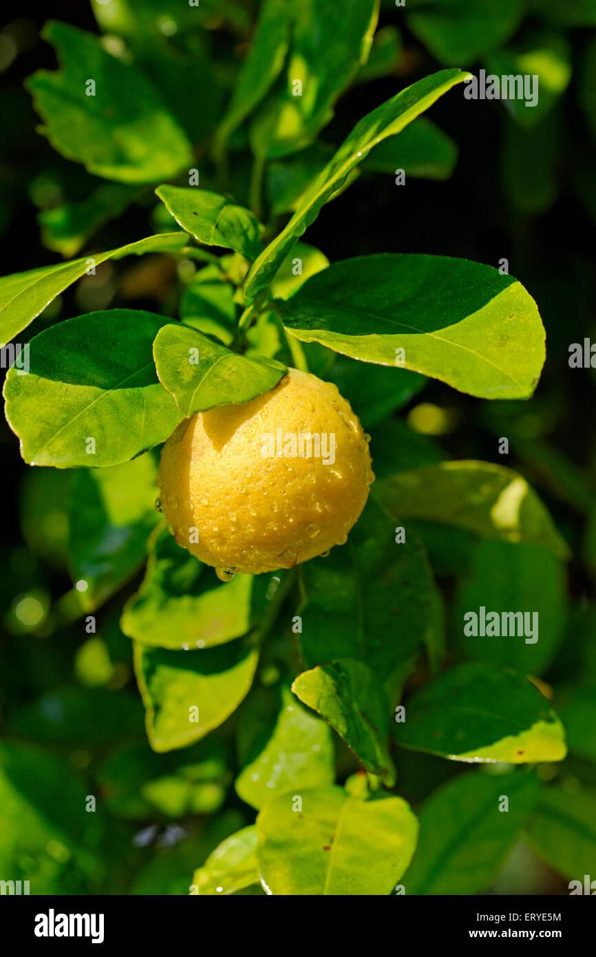 Lemon Lime Salsa de vitamina C ; jugo y la ralladura de cítricos tang ; India Imagen De Stock