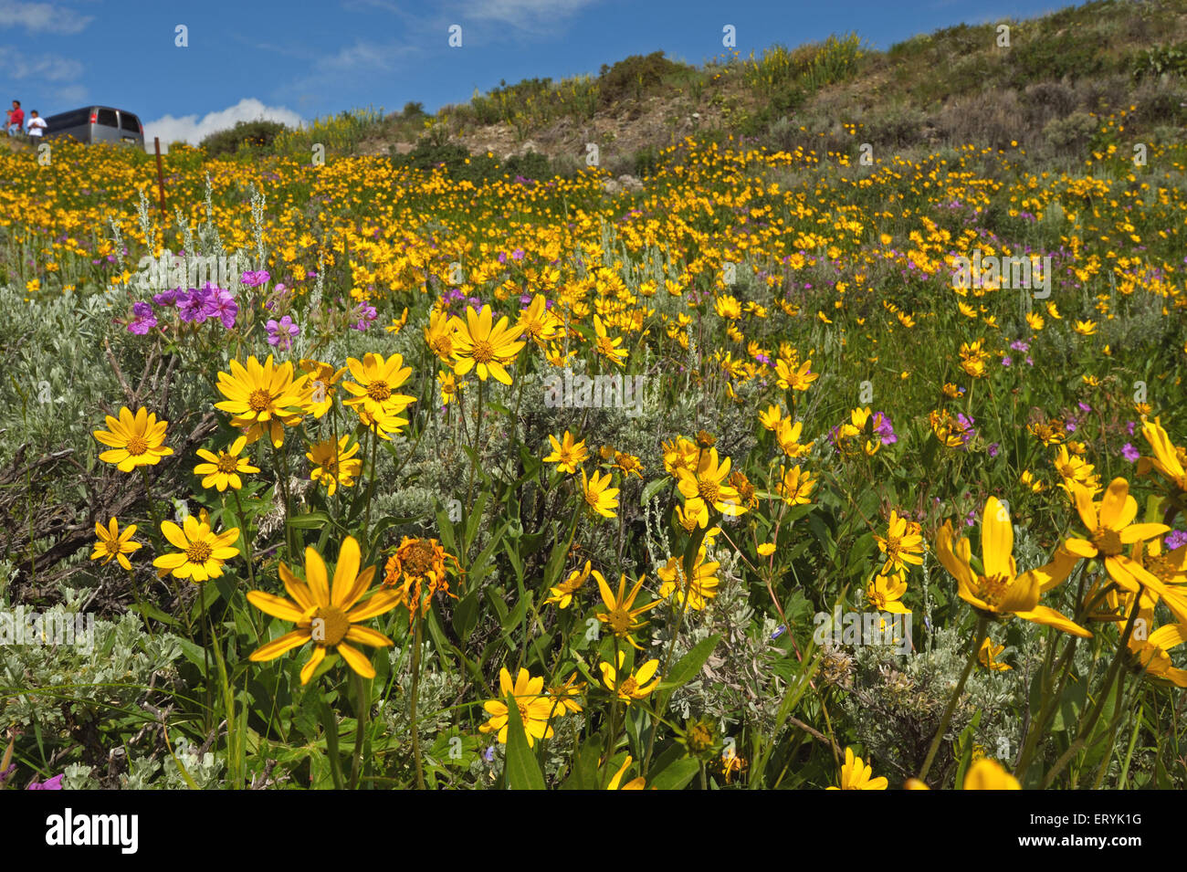 Prado florido en verano ; valle Lamar ; el parque nacional de Yellowstone ; ESTADOS UNIDOS Estados Unidos de América Imagen De Stock