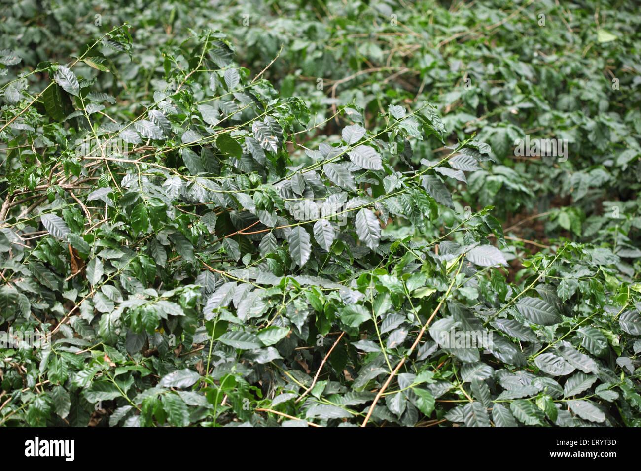 Las plantaciones de café en el valle de Araku ananthagiri hills ; ; ; ; Vishakhapatnam Andhra Pradesh India Imagen De Stock